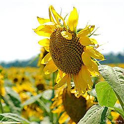 97721Sunflower.jpg