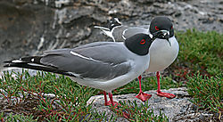 A-Pair-of-Galapagos-Gulls-on-Santa-Fe-Island-PPW.jpg