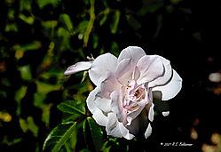 A-Single-Rose-PPW.jpg