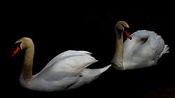 AA_swans_2.jpg