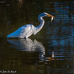A_Great_Egret_in_the_Morning-20.jpg