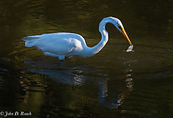A_Great_Egret_in_the_Morning-23.jpg