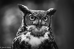 A_Great_Horned_Owl-Hotshoe_2.jpg
