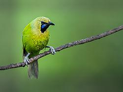 A_LONE_JERDONS_LEAF_BIRD.jpg