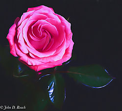 A_Rose-12.jpg