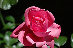 A_Rose_for_You1.jpg