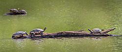 A_Turn_of_Turtles_1.jpg
