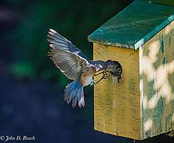 Adult_Bluebird_Action-1.jpg