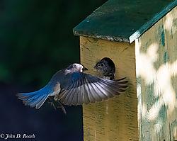 Adult_Bluebird_Action-2.jpg