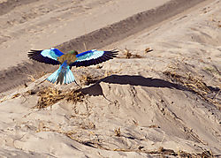 Africa_2015_D-750B_036_lilac_crested_flying_5x7.jpg