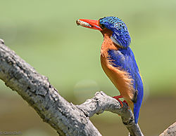 African_pygmy-_kingfisher.jpg