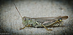Alien_Visitor_or_Grasshopper-Nikonian-0968.jpg