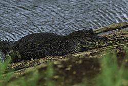 Alligator_Tobago.jpg