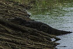 Alligator_resting_Tobago.jpg