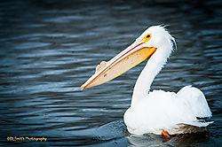 American_White_Pelican.jpg
