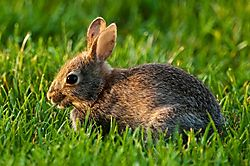 American_cottontail1.jpg