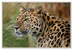 Amur-Leopard---Whiskers.jpg