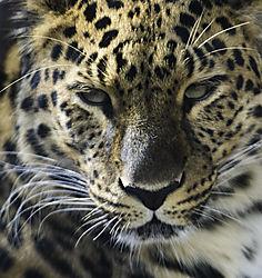 Amur_Leopard_1_N.jpg