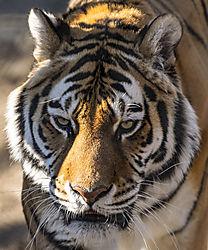 Amur_Tiger_2_N.jpg