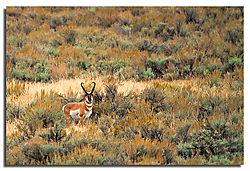 Antelope-Buck.jpg