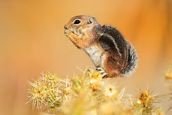 Antelope_ground_squirrel.jpg
