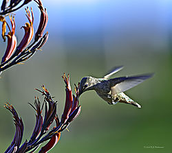 Aptos-Humming-Bird-2-PPW.jpg