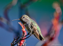 Aptos-Humming-bird--3-PPW.jpg