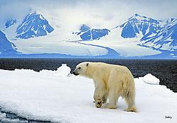 Arctic_Polar_bear.jpg