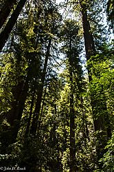 Armstrong_Redwood_Forest_Spires.jpg