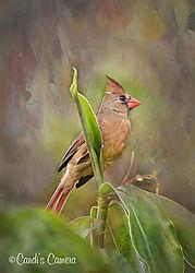Artsy_Female_Cardinal.jpg