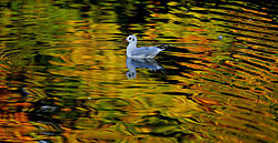 Autumn-Gull.jpg
