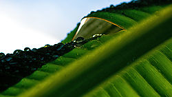 BANANA_LEAF_DEW_7223.jpg