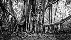 BANYAN_TREE1.JPG
