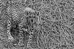 B_W_cheetah_cub.jpg