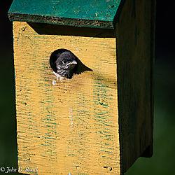 Baby_Blue_Birds-BP_and_Nikonian-12.jpg