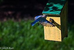 Baby_Blue_Birds-BP_and_Nikonian-23.jpg