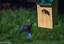 Baby_Blue_Birds-BP_and_Nikonian-33.jpg