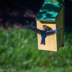 Baby_Blue_Birds-BP_and_Nikonian-35.jpg