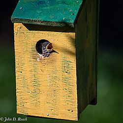 Baby_Blue_Birds-BP_and_Nikonian-4.jpg