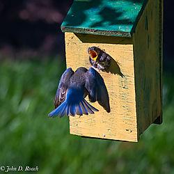 Baby_Blue_Birds-BP_and_Nikonian-41.jpg