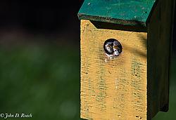 Baby_Blue_Birds-BP_and_Nikonian-9.jpg