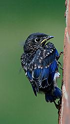Baby_Bluebird_Fledging_7_2_17.jpg