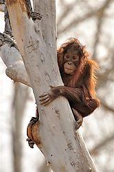 Baby_Orangutan1.JPG