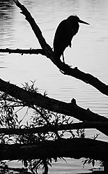 Backlit_Colorado_Heron_BW_V_0127rw.jpg