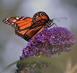Backyard_7_24_11_butterfly2.jpg