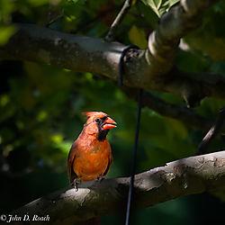 Backyard_Cardinal-3.jpg