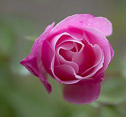 Backyard_Rose.jpg