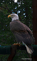 Bald-Eagle-Cascade-Rapter-Center-PPW.jpg
