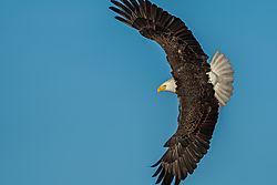 Bald_Eagle-11.jpg