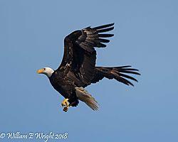 Bald_Eagle-2-2.jpg